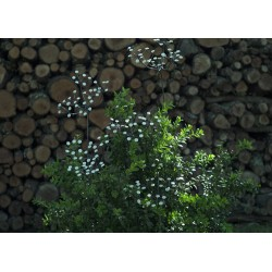 ARROSOIR&PERSIL - Fleur Provençal