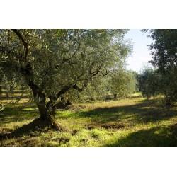 Huile d'Olive Vierge Provençal