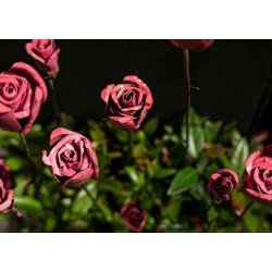 ARROSOIR&PERSIL - Rose Provençal